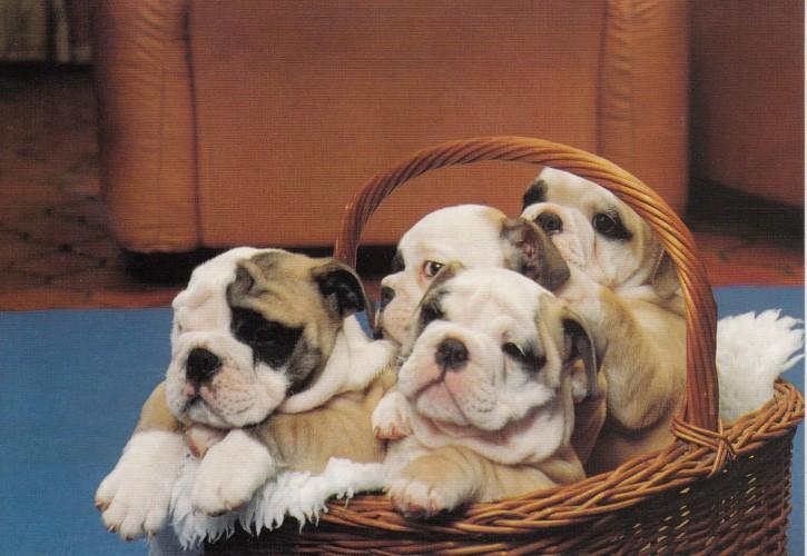 Tierpostkarte Hunde 102-2