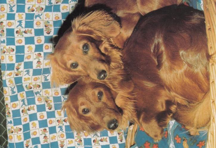 Tierpostkarte Hunde 102-6