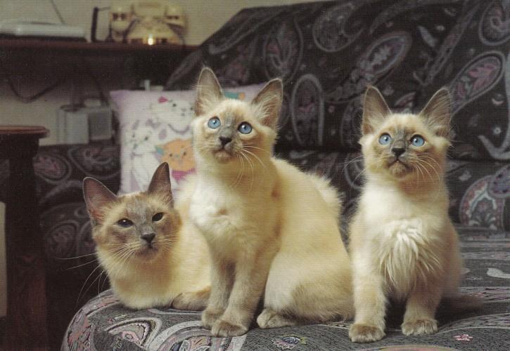 Tierpostkarte Katzen 102-8