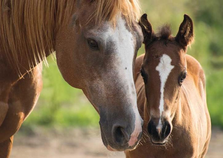 Tierpostkarte Pferde PPK-20