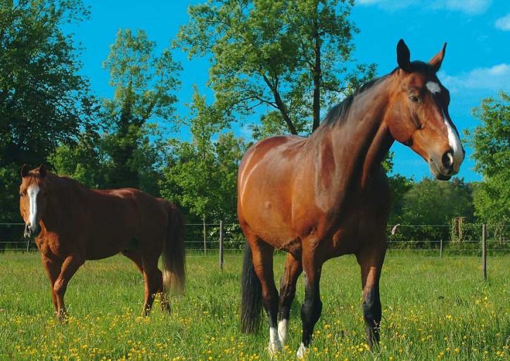 Tierpostkarte Pferde PPK-24