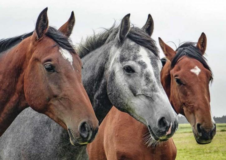 Tierpostkarte Pferde PPK-25